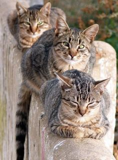 Three Striped Cats